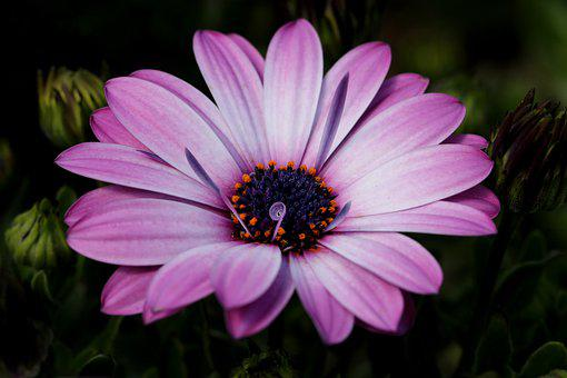 The See Super Maximum, Osteospermum, African Daisy