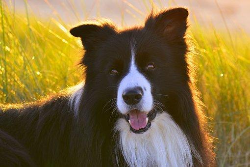 Dog, Border Colli, Canine, Companion, Herding Dog