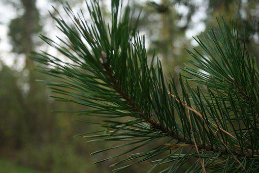 Pine, Branch, Christmas Tree, Forest, Nature, Tree