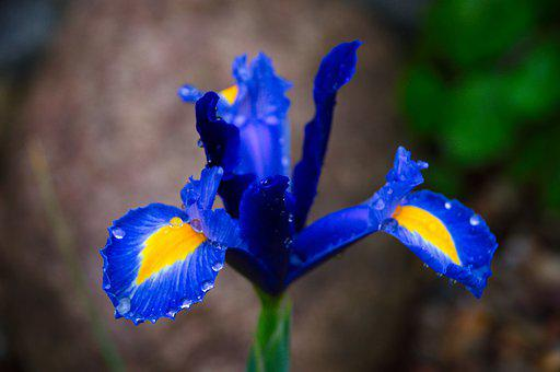Flower, Blue, Dew, Dewdrops, Water Droplets