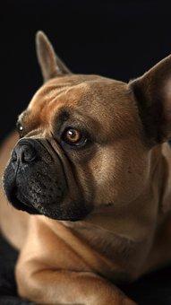 French Bulldog, Dog, Black Background, Face, Snout