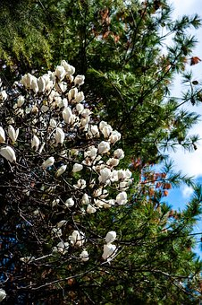 Magnolia, Flowers, Branches, Tree, White Flowers