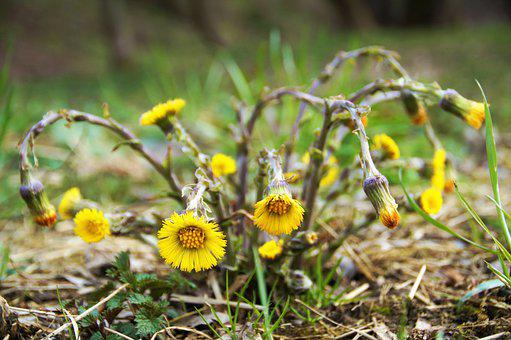 Flower, Coltsfoot, Medical, Herb, Plant, Cluster