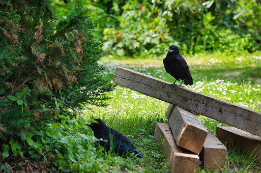 Crow, Birds, Wood, Perched, Blackbird, Animals