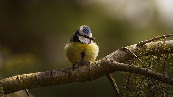 Blue Tit, Tit, Songbird, Branch, Perched, Perched Bird