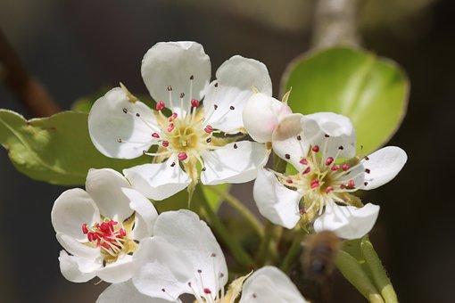 Pear, Flowers, Plant, White Flowers, Petals, Bloom