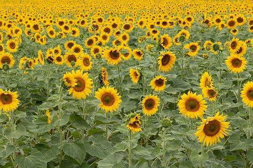 Sunflowers, Field, Farm, Flowers, Sunflower Field