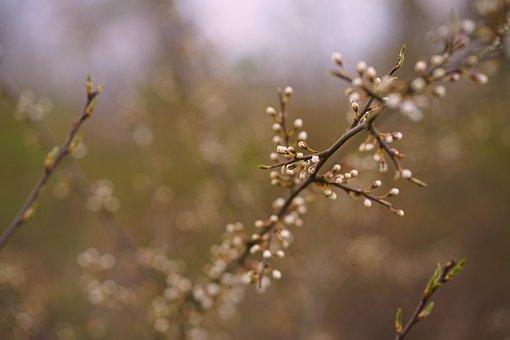 Buds, Flowers, Branch, Tree, Blackthorn, Plant, Garden