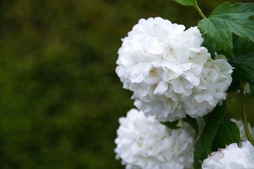 Flowers, White, Hydrangeas, White Hydrangeas
