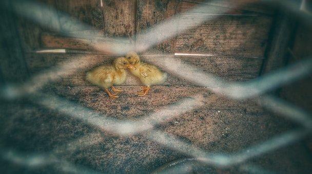 Ducks, Ducklings, Coop, Baby Ducks, Birds, Animals