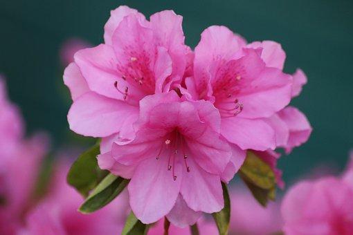 Azalea, Flowers, Plant, Pink Flowers, Petals, Bloom