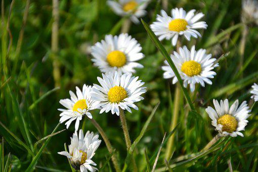 Daisies, White Flowers, Bloom, Blossom, Flora