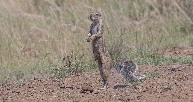 Ground Squirrel, Squirrel, Kalahari, Desert