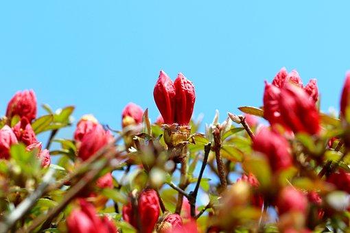 Azalea, Buds, Plant, Flowers, Royal Azalea