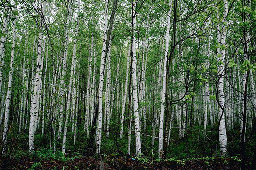Trees, Forest, Woods, Woodlands, Trunks, Tree Trunks