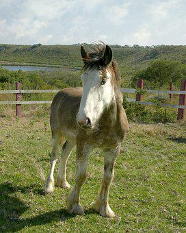 Horse, Colt, Pony, Clydesdale, Pasture, Paddock, Grass