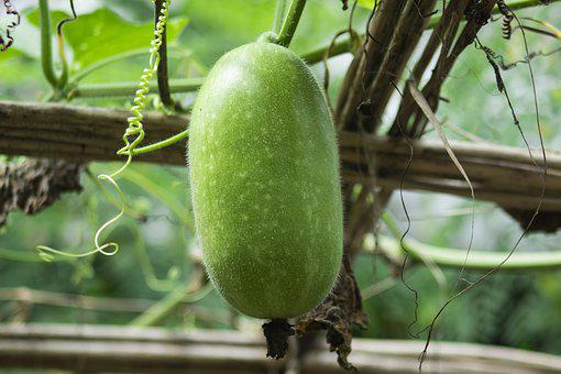Ash Gourd, Fruit, Vine, Plant, Food, Vegetable, Healthy