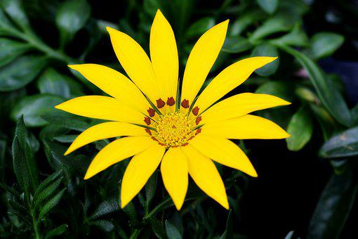 The See Super Maximum, Osteospermum, African Daisy
