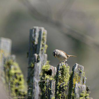 Sparrow, San, Jose, California, Fence, Moss, Pasture