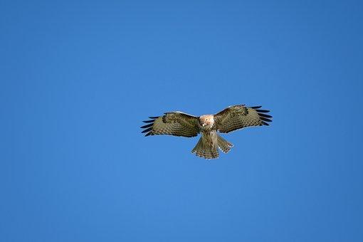Hawk, Bird, Flight, Bird Of Prey, Raptor, Wings, Sky