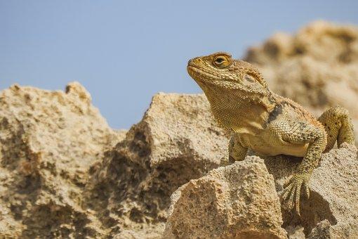 Lizard, Animal, Rock, Stellagama, Reptile, Wildlife