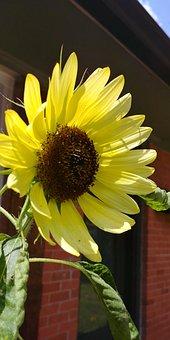 Sunflower, Flower, Helianthus, Yellow Flower