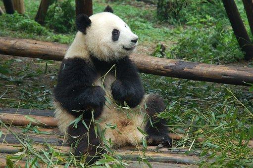 Young, Panda, Bear, Cub, Panda Bear, Wilderness