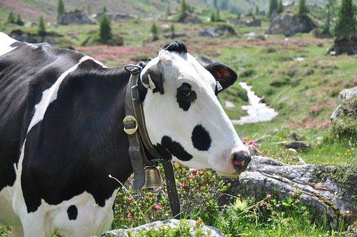 Cow, Mountains, Tyrol, Alm, Alpine, Cow Head, Livestock