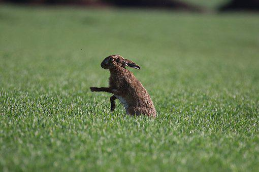 Hare, Animal, Field, European Hare