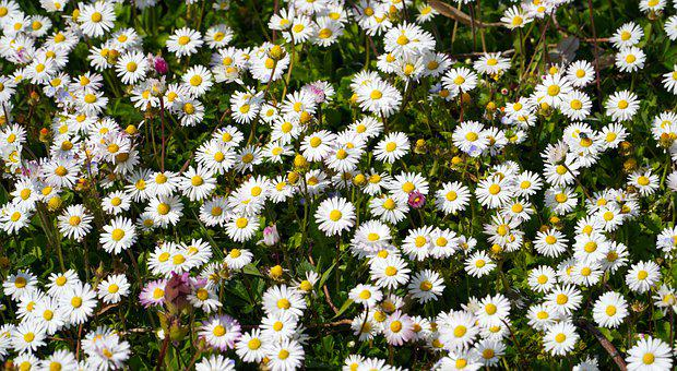 Daisies, White, Flowers, Meadow, Blossom, Bloom, Nature