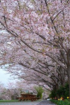 Sakura, Japan, Japanese, Spring, Tree, Blossom, Silk