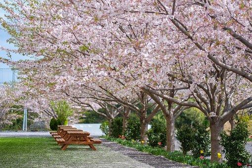 Japan, Sakura, Japanese, Spring, Bloom, Tree, Blossom