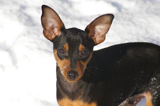 Dog, Canine, Pet, Miniature Pinscher, Purebred