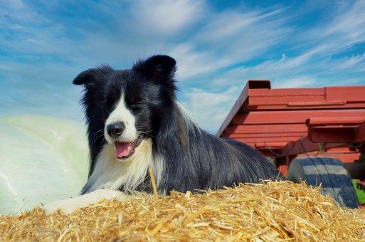 Border, Collie, Dog, Pet, Herding Dog, Purebred Dog