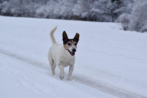Dog, Snow, White, Jack Russel, Portrait, Animal, Winter
