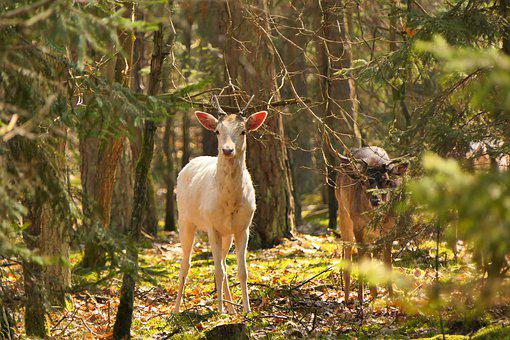 Fallow, Males, Young Male, Adult Guardian, Father