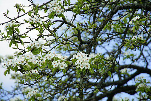 Pear, Flowers, Tree, White Flowers, Bloom, Branches