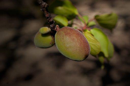 Apricot, Fruits, Tree, Plant, Food, Healthy, Organic