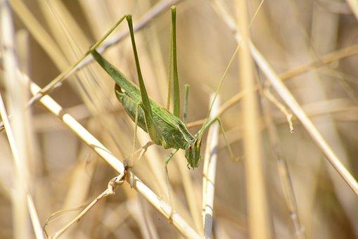 Grasshopper, Insect, Grass, Plant, Nature, Macro
