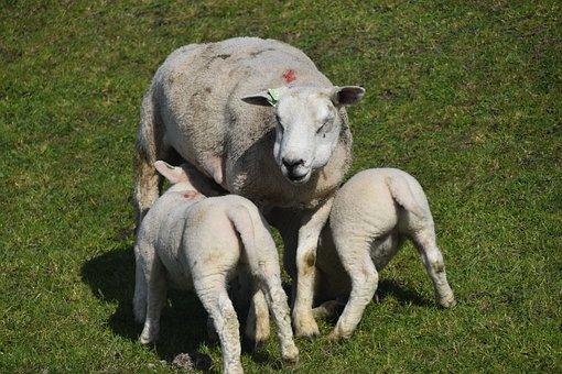 Sheep, Lambs, Pasture, Animals, Livestock, Mammals