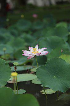 Lotus Flower, Lily Pads, Water Lily, Aquatic Plant