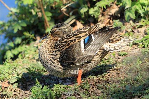 Mallard, Female Mallard, Duck, Female, Nature, Animal