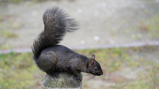 Squirrel, Sciuridae, Rodent, Mammal, Tail