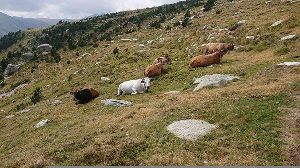 Cows, Lying Down, Pastures, Cattle, Highlands