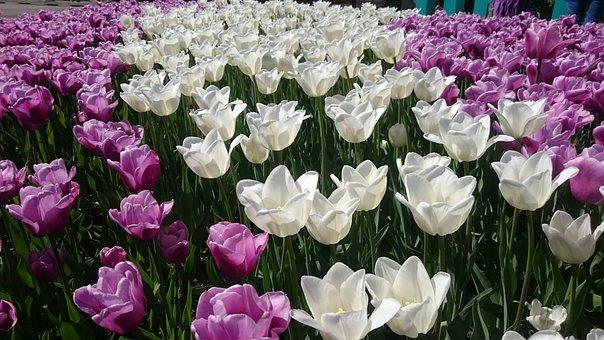 Tulips, Flowers, Field, Spring, Petals