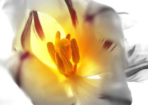 Tulip, Flower, Pistil, Stamen, Pollen, Bloom