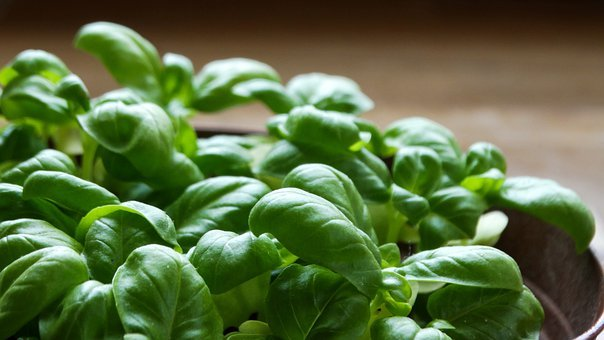 Plant, Eat, Food, Herbs, Bio, Fresh, Basil, Healthy