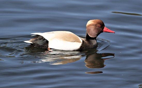 Red-crested Pochard, Bird, Water Bird, Duck, Animal