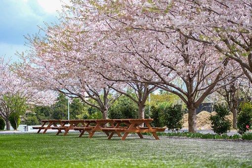 Japan, Sakura, Japanese, Spring, Tree, Blossom, Silk