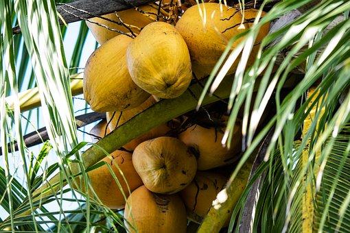Coconuts, Tree, Palm Tree, Tropical, Coconut Tree